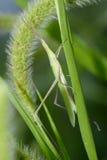 Locust. A locust landed on grass Stock Photography