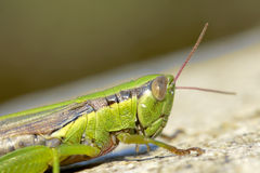 Locust Royalty Free Stock Photo