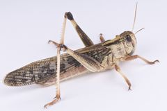 Locust. The migratory locust is an locally abundant insect Stock Photography