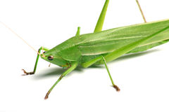 Locust. Green locust isolated on white background Stock Images