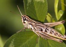 Free Locust Stock Photography - 27884292