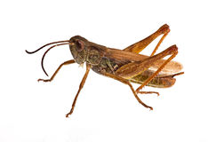 Locust. The big locust isolated in White Background Royalty Free Stock Photography