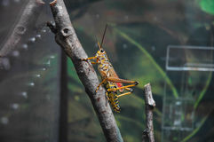 Locust. A locust at the zoo stock photos