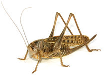 Locust. Close-up on white background Stock Images