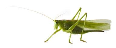 Locust Royalty Free Stock Photography