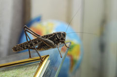 Locust against the globe Royalty Free Stock Images