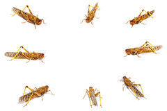 Locust attacks Royalty Free Stock Photos