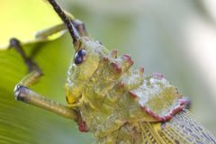 Locust on banana leaf Stock Photography