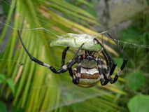 A locust be catched by a spider Stock Images