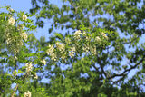 Locust blossom Royalty Free Stock Images