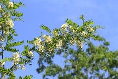 Locust blossom Royalty Free Stock Image