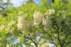 Locust blossom Stock Photography