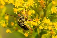 Locust Borer Beetle Royalty Free Stock Photo