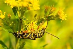 Locust Borer Beetle Stock Photos