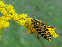 Locust Borer feeding on goldenrod royalty free stock photos
