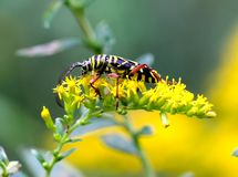 Locust Borer Stock Image