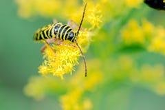 Locust Borer - Megacyllene robiniae feeding on Goldenrod Royalty Free Stock Photography