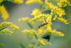 Locust Borer - Megacyllene robiniae feeding on Goldenrod royalty free stock photos
