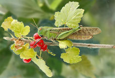 Locust on a branch red currant Royalty Free Stock Photos