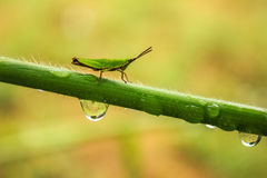 Locust on branches. With drop of water Stock Photo