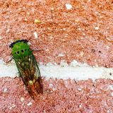 Locust on brick wall. Green locust on brick wall with large wings Royalty Free Stock Photos