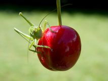 Locust and cherry. Cherry red and green grasshopper on it Stock Photo