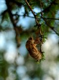 Locust or Cicada Shell in Tree Stock Images