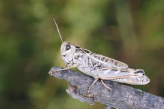 Locust. The close-up of locust Royalty Free Stock Photography