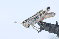 Locust Royalty Free Stock Photo