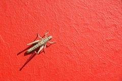 Locust Royalty Free Stock Photos
