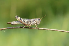 Locust Royalty Free Stock Photography