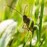 Locust Stock Image