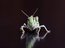 Locust closeup macro portrait royalty free stock photos
