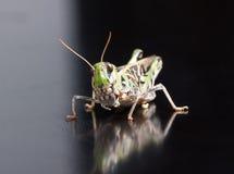 Locust closeup macro portrait stock photography