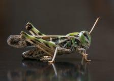 Locust closeup macro portrait stock images