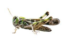 Locust closeup macro portrait stock photos