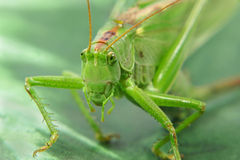 Locust.Closeup. Stock Photos