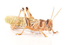 Locust, Desert locust Schistocerca gregaria, immediately after molt. Locust , Desert locust Schistocerca gregaria, immediately after molt royalty free stock photography