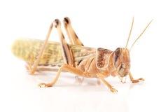 Locust, Desert locust Schistocerca gregaria, immediately after molt Royalty Free Stock Photography