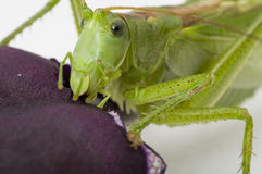 Locust eating Stock Images