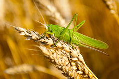Locust eats wheat crop Royalty Free Stock Photo