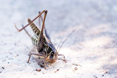 Locust femail Stock Images