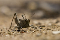 Locust in field Royalty Free Stock Photography