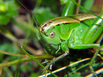 Locust in grass Stock Photography