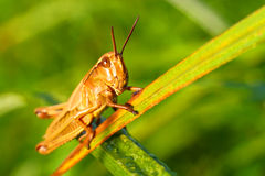 Locust in a grass Royalty Free Stock Photo