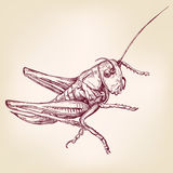 Locust or grasshopper -insect  hand drawn vector llustration sketch Royalty Free Stock Photo