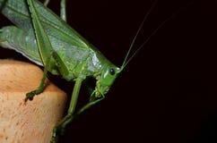 Locust green Royalty Free Stock Image