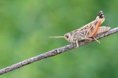 Locust imago Stock Photo
