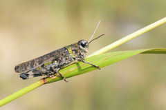 Locust imago Stock Photos
