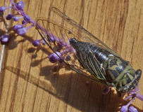 Locust Insect Up Close Royalty Free Stock Photo